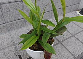 ネペンテス(ウツボカズラ(Nepenthes))
