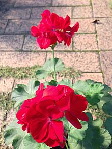 フォーカスロックし前の花にピントを合わせた撮影