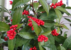 散歩の途中のセンリョウの赤い実