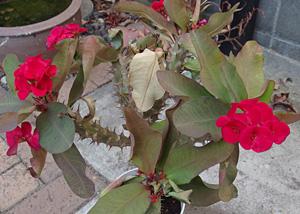 寒さで葉の枯れた花キリン
