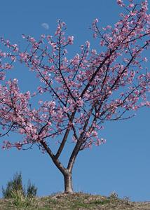 満開の河津桜と月齢 8.3の月 静岡市清水区