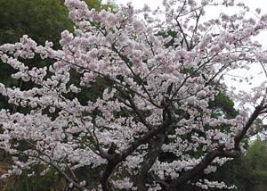 愛宕霊園のソメイヨシノ 2015.03.21 静岡市葵区