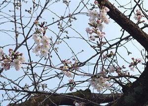 ソメイヨシノの花 2015.03.22 静岡市葵区