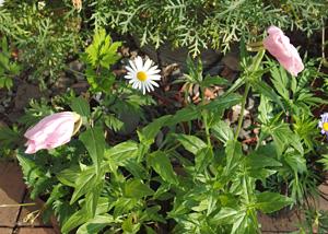朝にしぼむツキミソウの花