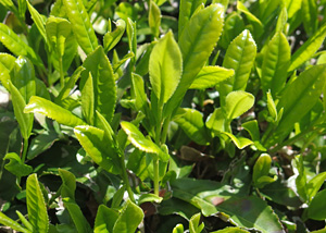 1芯2葉程度の茶の葉 2015.05.01 富士市大淵