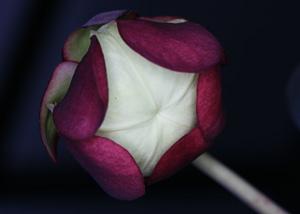 クリーム色の組織が蓋をしている花