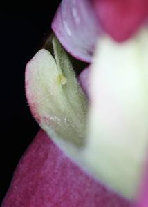雌しべの先端の柱頭<br />