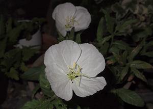 ツキミソウの花