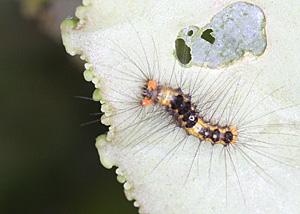 モンシロドクガの幼虫かな?