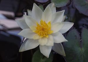 温帯性ヒメスイレンの花