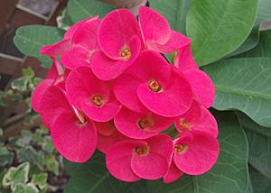 ユーフォルビア 花キリン「八福神」の花