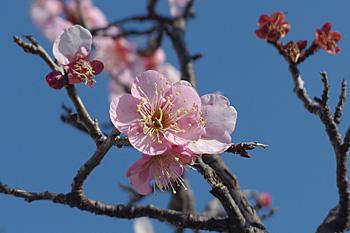 ウメの花 2016.01.31 静岡市葵区平野部