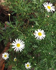 マーガレットの花が咲き始めました