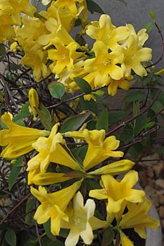 カロライナジャスミンの花が咲きました