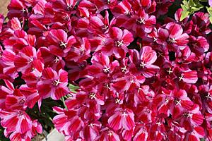 ゴデチア:開花最盛期