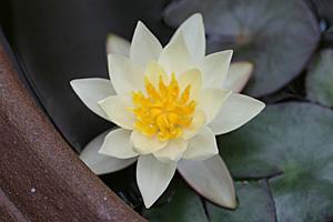 今年も温帯性ヒメスイレンの花が咲きました
