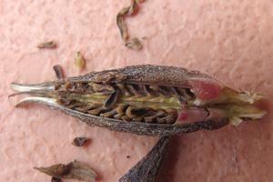 ゴテチアの種子