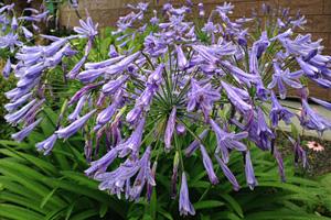 アガパンサスの花