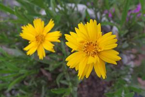 コレオプシス:気温が上がり咲く花が少なくなった
