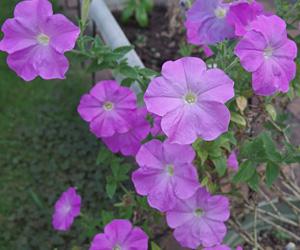 ペチュニア:2年目の夏の花
