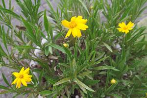 コレオプシス:暑い中、新芽が伸びてきた