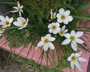 タマスダレの花を見かけるようになりました