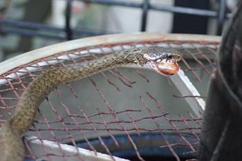 金魚を補食するヒバカリ...現行犯!