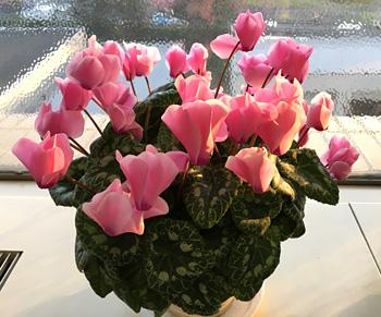 夏越ししたシクラメンの花が増えてきた