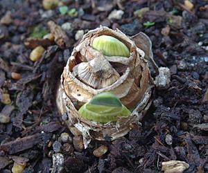とてもゆっくり生育するスイセンの芽