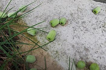 クレマチス(アンスンエンシス):つぼみが大量に落下