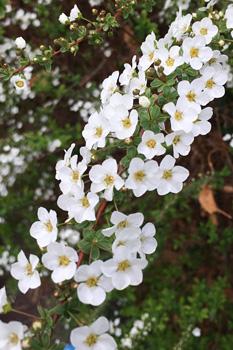 ユキヤナギの花が満開です