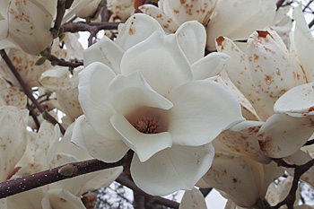 ハクモクレンの花