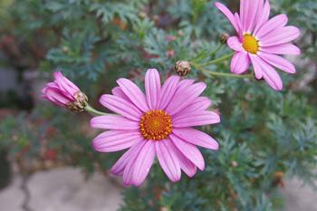 マーガレット:ラブリーフレンドの花が咲きました