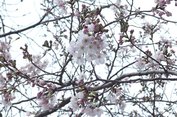 ソメイヨシノ 2017.04.02 静岡市葵区平野部