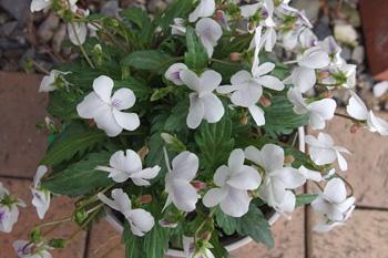 ニホンスミレの花が咲きました