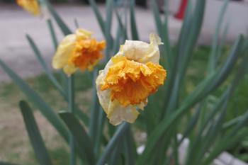 スイセン:開花終了