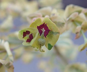 ユーフォルビア  「ゴールデンレインボー」の花