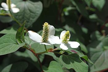 ドクダミの花の季節です