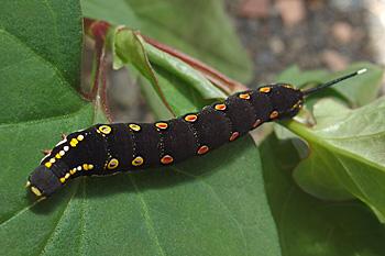 ドクダミの葉の上のスズメガの幼虫