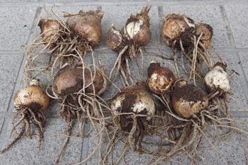 スイセン:球根の掘取り