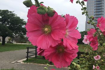 駿府城公園のタチアオイ