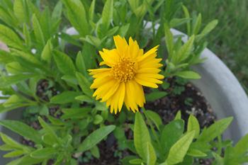 コレオプシス:夏の花
