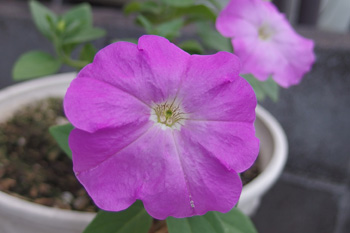 ペチュニア:3年目の夏の花