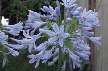 アガパンサスの花の季節になりました