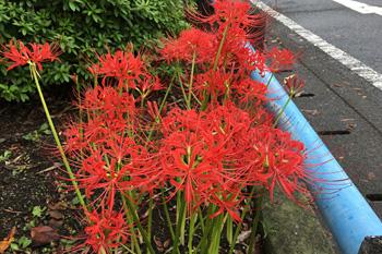 街中でもヒガンバナの花が咲き始めました