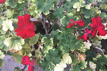 ゼラニューム:涼しくなって緑色の葉が増えてきました