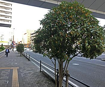 JR静岡駅南口前のキンモクセイの並木