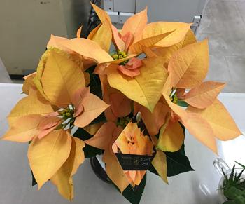 オレンジ(ゴールド)の葉のポインセチア