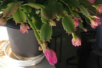 職場のシャコバサボテンが咲き始めました