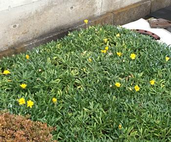 製紙工場の脇のガザニアが咲き始めました